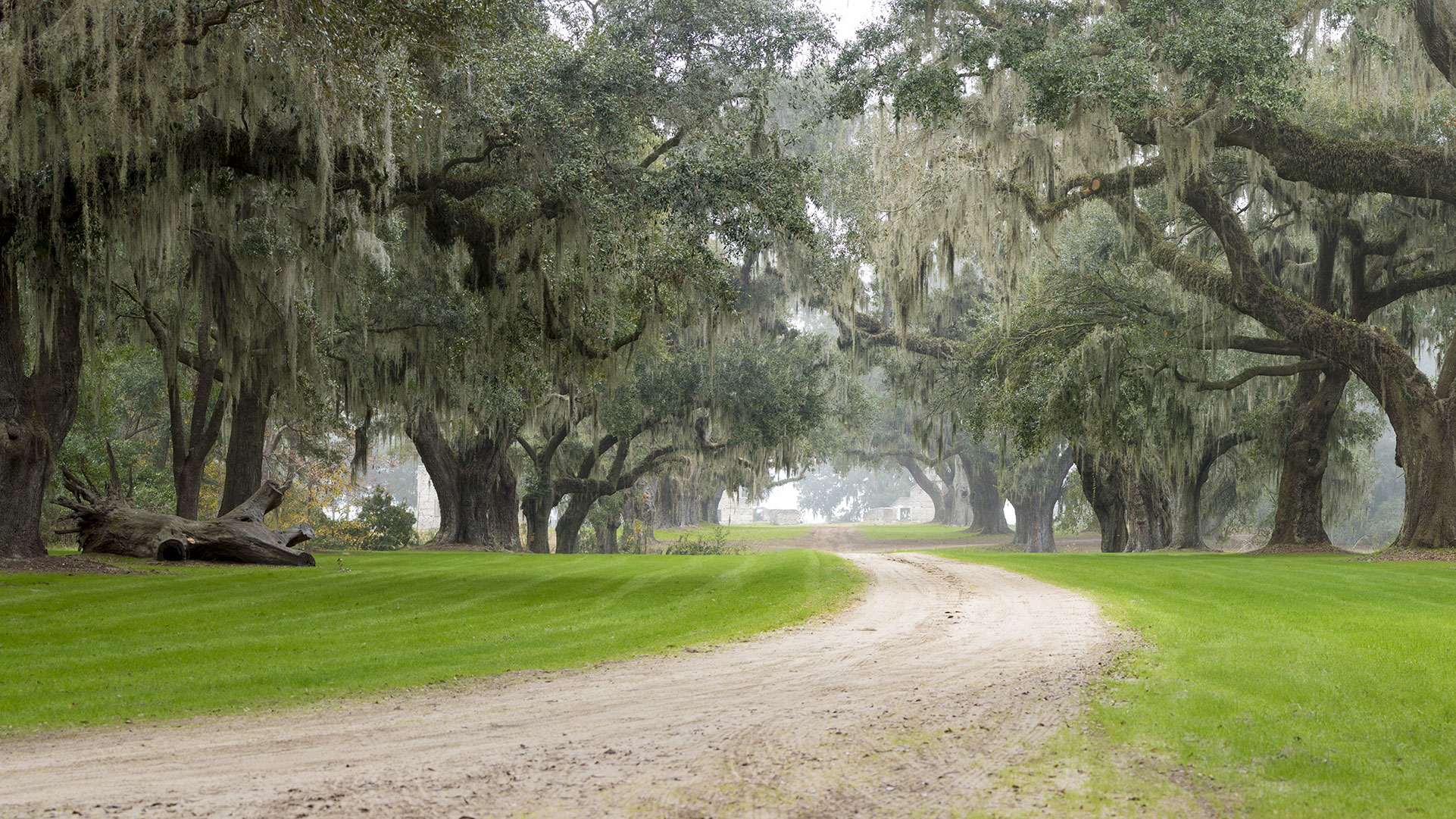Oaks along a plantation road in North Florida
